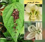 اجرای طرح کنترل بیولوژیک در گلخانه های استان اصفهان