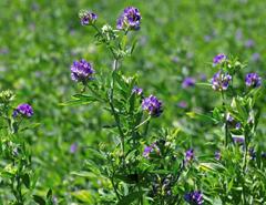 بذر گیاهان علوفه ای