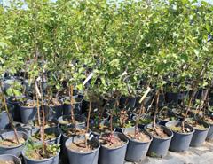نهال درختان مثمر