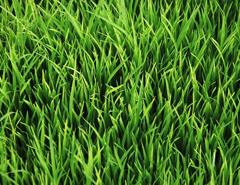 بذر چمن و پوششی