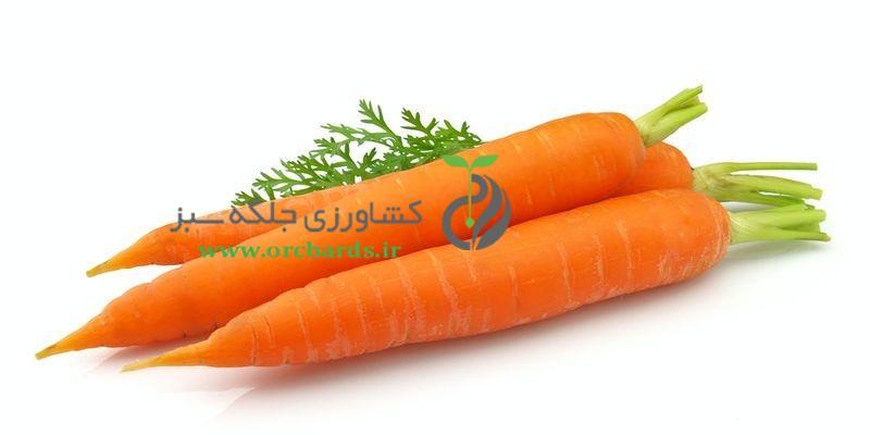 بذر هویج bio seeds