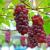 برداشت انگور یاقوتی در سیستان و بلوچستان آغاز شد