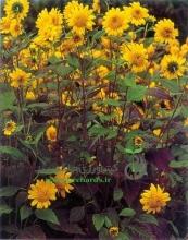 بذر گل آفتابگردان زينتی، پا بلند(شاخه بريده)، زرد