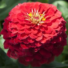بذر گل آهار پا متوسط، قرمز