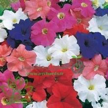 بذر گل اطلسي ايراني الوان