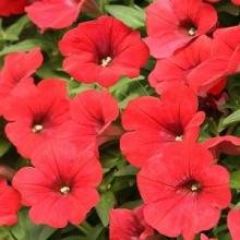 بذر گل اطلسي ايراني، تك رنگ قرمز روشن ، گل درشت