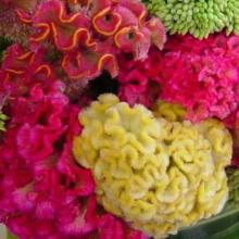 بذر گل تاج خروس مخلوط الوان