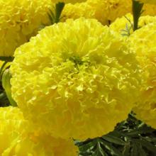 بذر گل جعفري پا كوتاه گلدرشت زرد