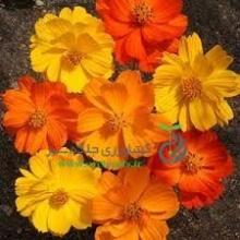 بذر گل ستاره اي پا كوتاه مخلوط