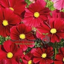 بذر گل ستاره اي پابلند قرمز
