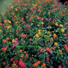 بذر گل شاهپسند ،پرگل، الوان