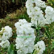 بذر گل شب بو ،پا كوتاه، پرپر، سفيد