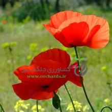 بذر گل شقايق ايراني