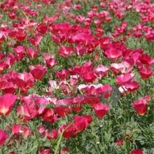 بذر گل شقايق كاليفرنيایی (لاله باغی) پاكوتاه، پرگل، ارغوانی