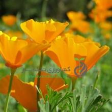 بذر گل شقايق كاليفرنيایی (لاله باغی) پاكوتاه، پرگل، زرد
