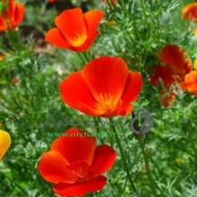 بذر گل شقايق كاليفرنيایی ، پاکوتاه، نارنجی
