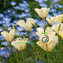 بذر گل شقايق کاليفرنيایی (لاله باغي) پاکوتاه، پرگل، سفيد