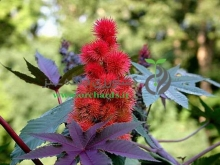 بذر گل كرچك زينتي، پابلند، قرمز