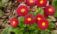 بذر گل مينا پا بلند، پرپر، رنگ قرمز