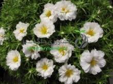 بذر گل ناز آفتابي، پرپر سفيد برفی
