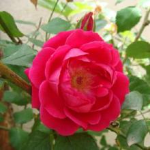 بذر گل ناز آفتابی پُر پَر قرمز