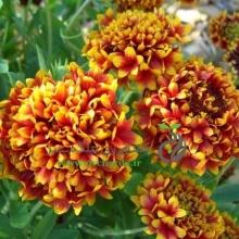 بذر گل رعنا زیبا پاکوتاه پُرپَر دو رنگ