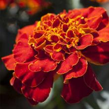 بذر گل جعفری پا کوتاه قرمز مایل به قهوه ای