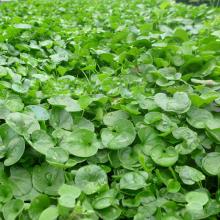 بذر شبدر دایکوندرا ( چمن شبدری )بسته 1 کیلوگرمی