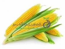 بذر ذرت شیرین Bio seeds