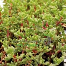 گل فوکوریا