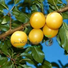 Gold plum seedlings