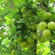 Green tomato seedlings