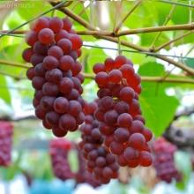 نهال انگور بی دانه قرمز