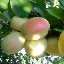 نهال زردآلو شاهرودی (بادامی)