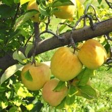 نهال سیب لبنانی زرد ریشه لخت