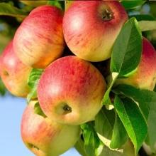 نهال سیب فوجی