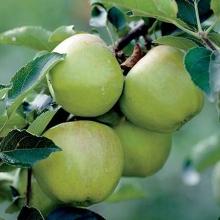نهال سیب گرنی اسمیت (پایه بذری)