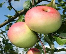 نهال سیب گلاب کهنز پایه رویشی ریشه لخت