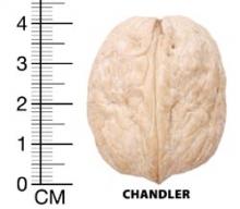 نهال گردو پیوندی چندلر - Chandler Walnut