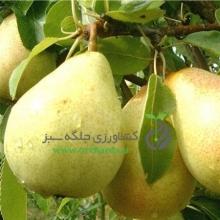 Beirut pear seedlings (seed base)