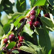 نهال گیلاس تکدانه پیش رس لوشان(پایه بذری) - Lushan cherry seedlings