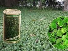 بذر شبدر دایکوندرا مدل DICH100 وزن 1000 گرم(چمن شبدری) ایتالیایی