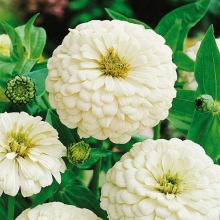 بذر گل آهار پامتوسط سفید