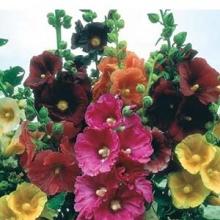 بذ گل ختمی پابلند الوان
