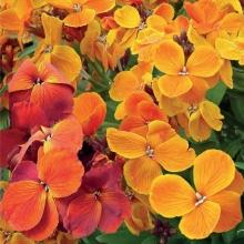 بذر گل شب بو زعفرانی