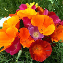 بذر گل شقایق کالیفرنیا الوان