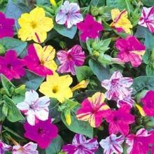 بذر گل لاله عباسی پابلند چند رنگ