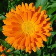 بذر گل همیشه بهار پا بلند مخلوط