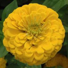 بذر گل آهار پامتوسط زرد