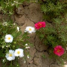 بذر گل ناز پُر پَر سفید و قرمز